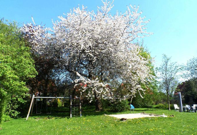An den Kirschbäumen
