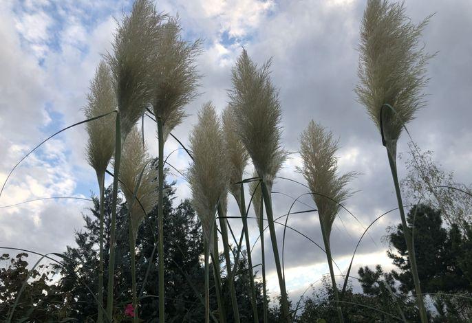 Garten: Pampasgras