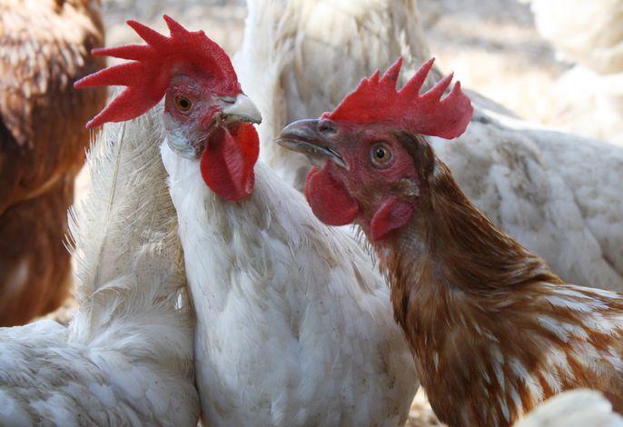 Hühner vom Grundhof