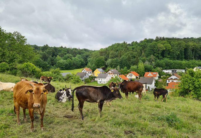 Hochlandrinder auf der Weide hinterm Traufdomizil