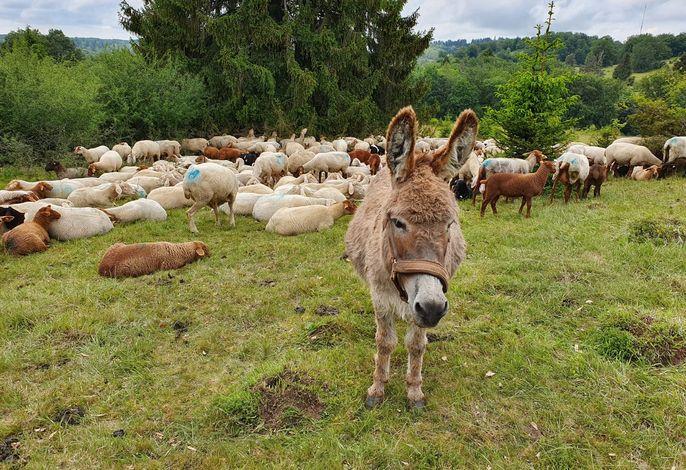 Schafe und Esel auf der Wachholderheide