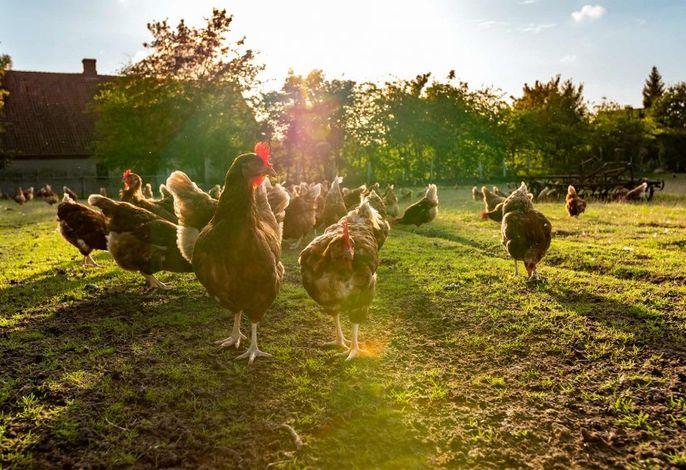 Unsere fleißigen Hühner
