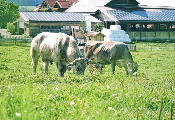Weidegang Willi und Kuh