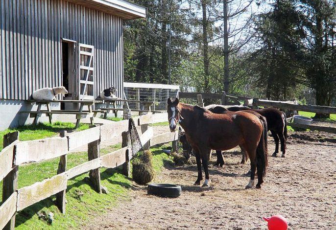 Pferde, Ponies und Ziegen leben auf Gut Oestergaard