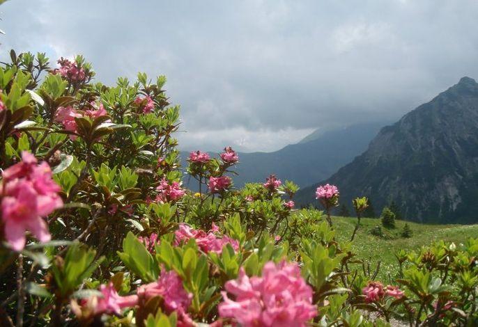 Alpenrosenblüte mit Gewitterstimmung
