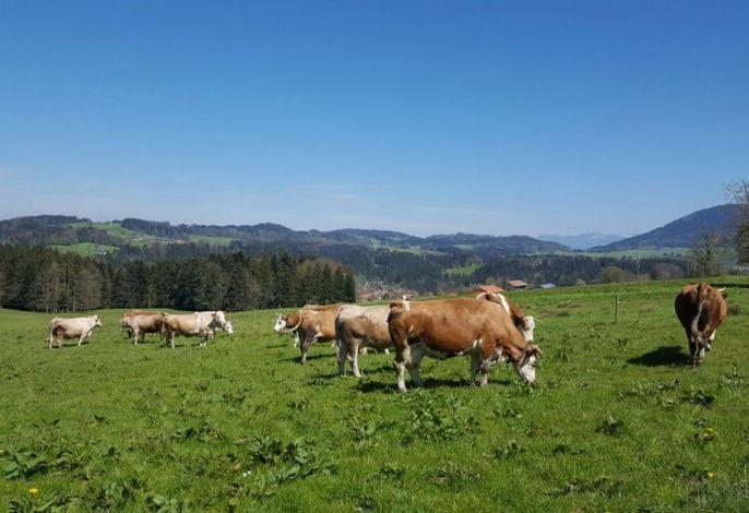 Unsere Kühe auf der Sommerweide