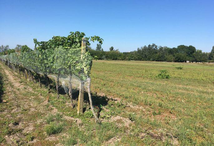 Weingarten im Hochsommer