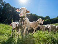 Schafe ©SchmecktakuläresAlmtal