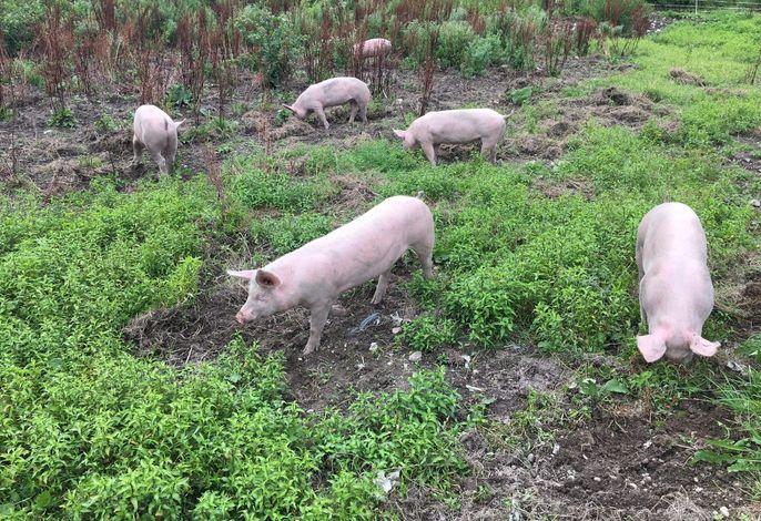 Schweine auf der Weide