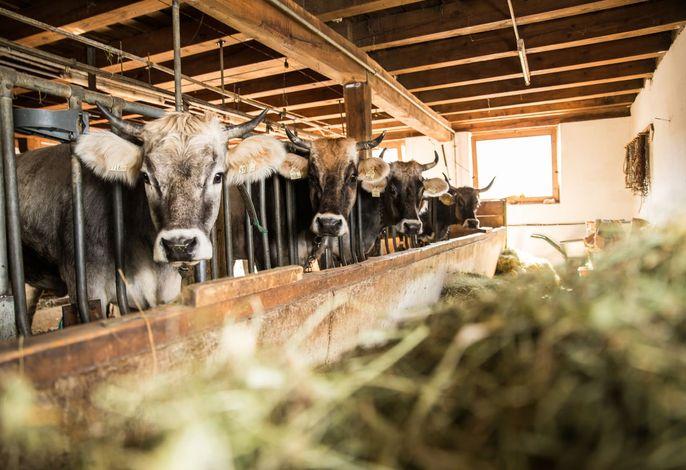 Kühe Stall