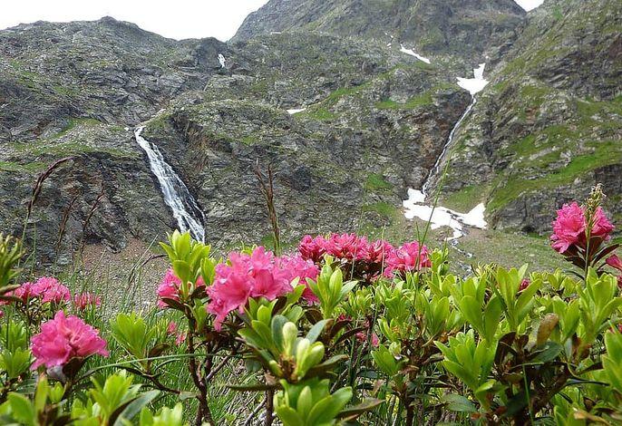 Almrosenblüten im Juni
