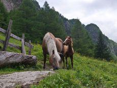 Ortnerhof Pferdezucht