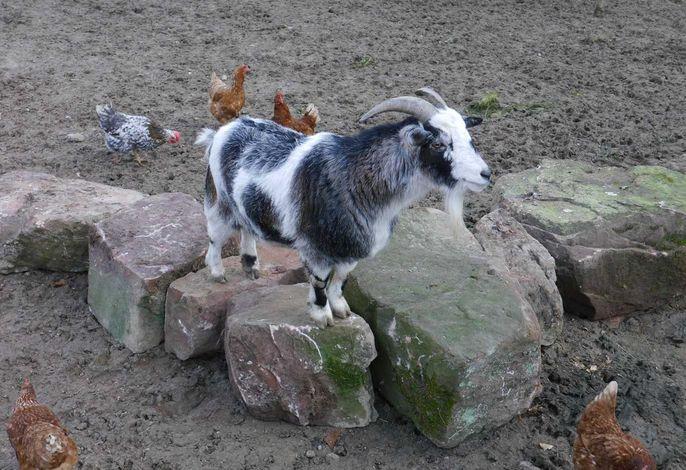 Franzl - der Chef im Ziegengehege