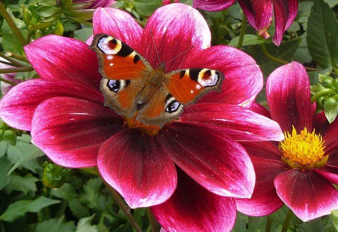 Schmetterling auf Dahlie