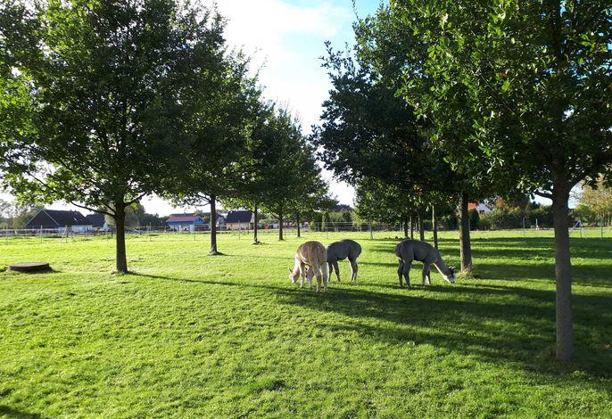 Ferienwohnung Fleesensee Alpakas